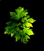 glowing maple leaf