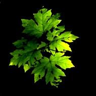 glowing maple leaf