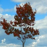 red leaves on Boulevard Park tree
