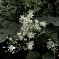 Wild Clematis in black and white