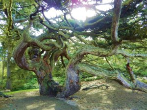 600 year-old tree in Deception Pass, WA