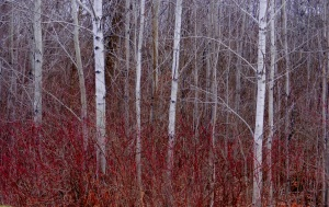 Adirondack winter trees (2)