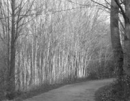 Bellingham tree
