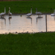 Trumpeter swans reflections