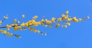 forsythia and blue sky