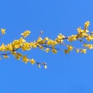 forsythia and blue sky