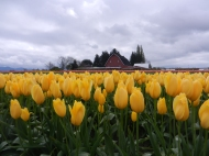 yellow tulips and barn (2)