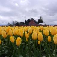 yellow tulips and barn (2)