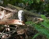 owl at Padden