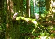 owls at Padden