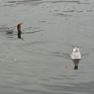 loon and seagull
