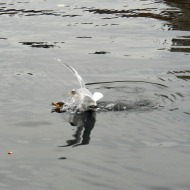 seagull dive-bombing a loon with food