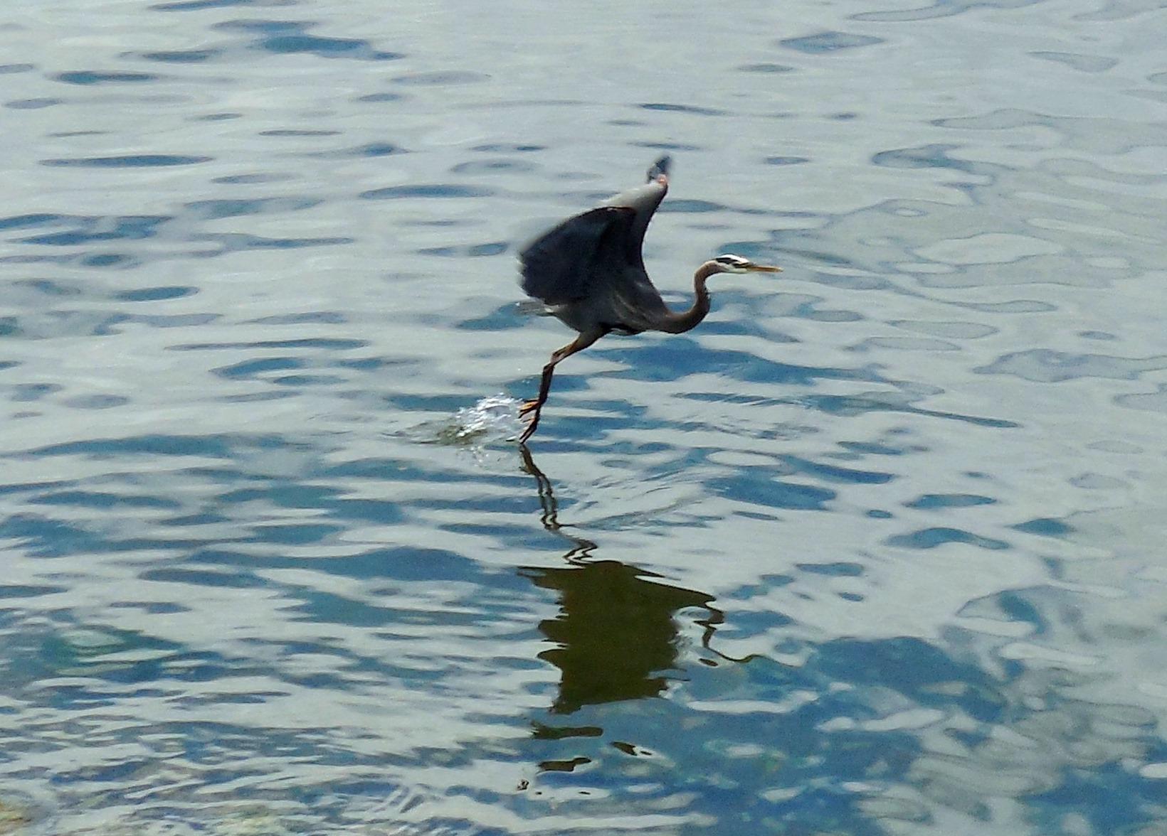heron taking off