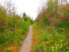 trail through sweet peas