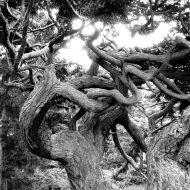 850 year-old tree at Deception Pass, Washington (photo by Karen Molenaar Terrell)