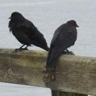 ruffled crows