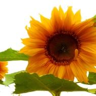 sunflower in Fairhaven
