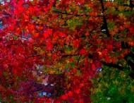 vine maple in autumn