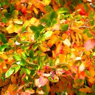 autumn color in Bellingham