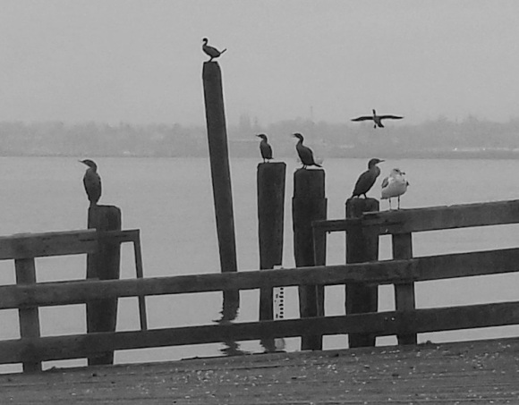 cormorants and seagulls on posts