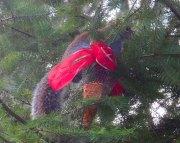 squirrel feasting Christmas ornament