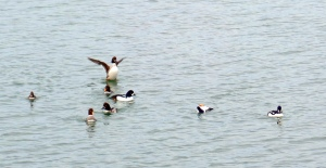 Barrow's goldeneye ducks