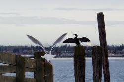 seagull and cormorant