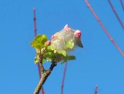 apple blossom in caterpillar tent