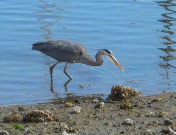 heron foraging on the shoreline