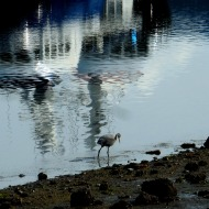 heron and reflection of boats