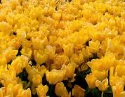 yellow tulips photo by Karen Molenaar Terrell