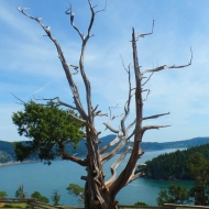 tree at Washington Park, Anacortes