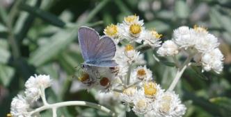 Blue butterfly (photo by Karen Molenaar Terrell).