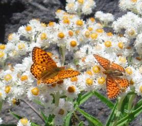 Orange butterflies on white flowers. Photo by Karen Molenaar Terrell.