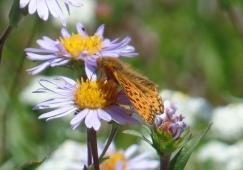 Orange butterfly on aster. Photo by Karen Molenaar Terrell.