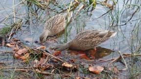 Duck Foraging (Karen Molenaar Terrell)