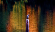 Autumn Heron. Photo by Karen Molenaar Terrell.