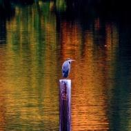 Autumn Heron. Photo by Karen Molenaar Terrell.