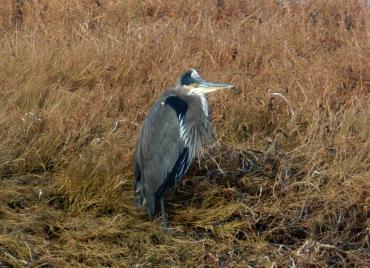 Heron at Padilla Bay, photo by Karen Molenaar Terrell
