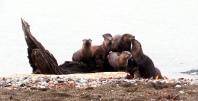 Otters in Boulevard Park, Bellingham. Photo by Karen Molenaar Terrell.