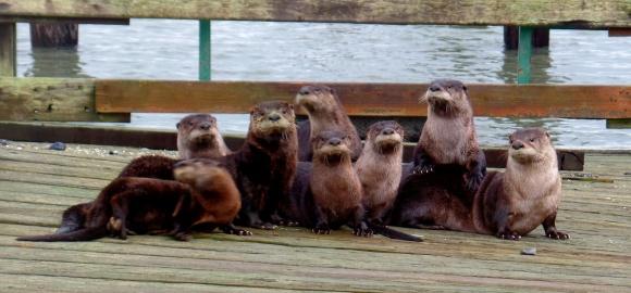 Otter Family Portrait