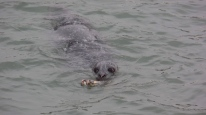 Seal with Salmon