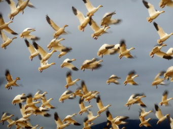 snowgeese in flight (photo by Karen MOlenaar Terrell)
