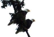 Pair of eagles. Bow, Washington. Photo by Karen Molenaar Terrell