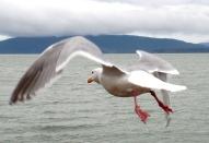 Seagull taking off in Boulevard Park. Photo by Karen Molenaar Terrell.