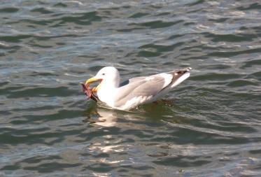 Seagull with Seastar