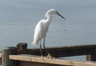 White Crane in San Diego
