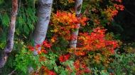 Bellingham Autumn Vine Maples