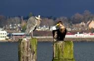 heron-and-cormorant-2