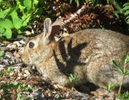 Bunny in Bellingham